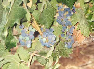 Grapes in Chile